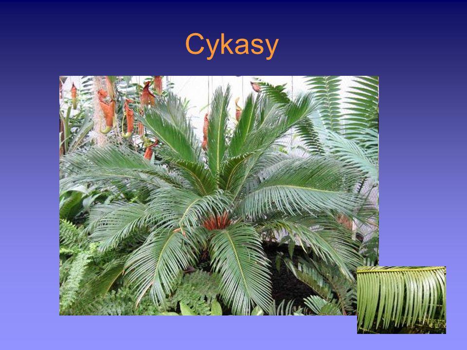 Cykasy