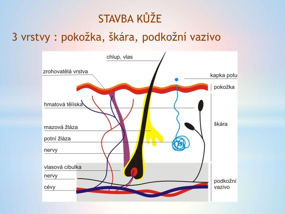 STAVBA KŮŽE 3 vrstvy : pokožka, škára, podkožní vazivo