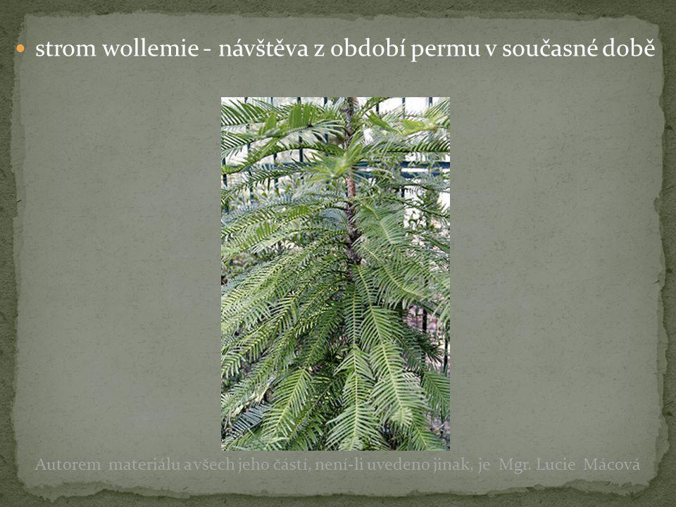 strom wollemie - návštěva z období permu v současné době Autorem materiálu a všech jeho částí, není-li uvedeno jinak, je Mgr. Lucie Mácová