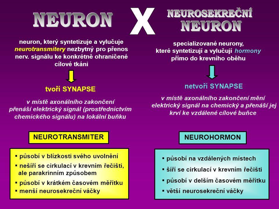 neuron, který syntetizuje a vylučuje neurotransmitery nezbytný pro přenos nerv.