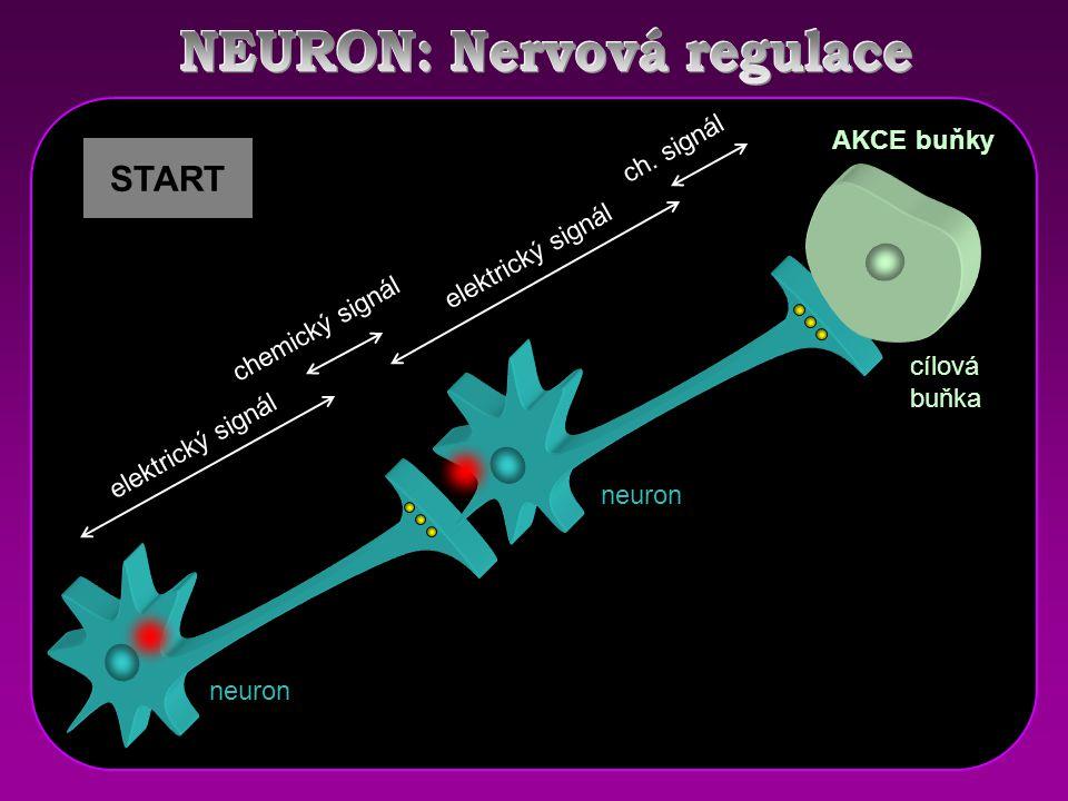receptor elektrický signál chemický signál ch. signál AKCE buňky START neuron cílová buňka