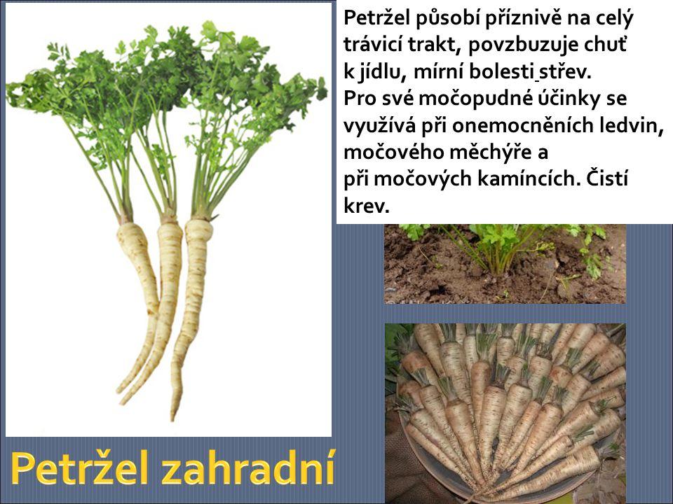 List celeru působí močopudně, je vhodný pro revmatiky a diabetiky, uklidňuje a podporuje trávení.