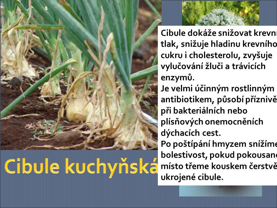 Česnek je účinnou ochranou proti nachlazení, svým působením proti virům a baktériím celkově zvyšuje odolnost organismu.
