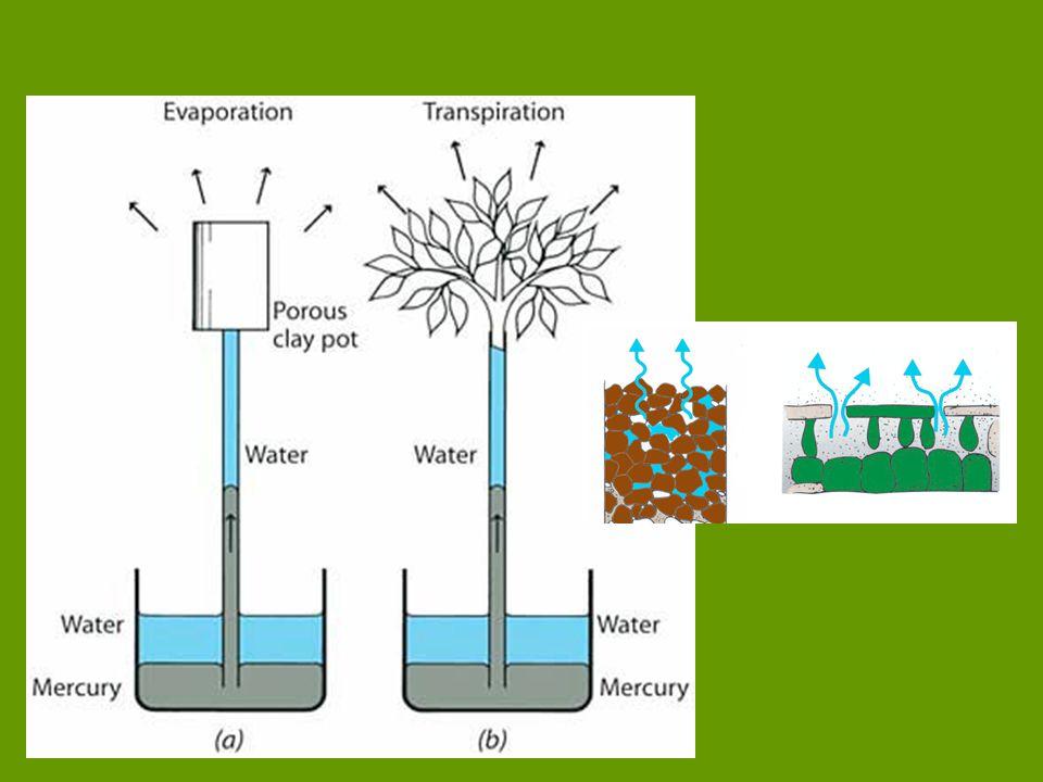 vodní deficit - rostlina neuhradí vodu, kterou ztratila - rychlost výdeje vody je vyšší než rychlost příjmu (záporná vodní bilance) listy: nejnižší hodnota vod.
