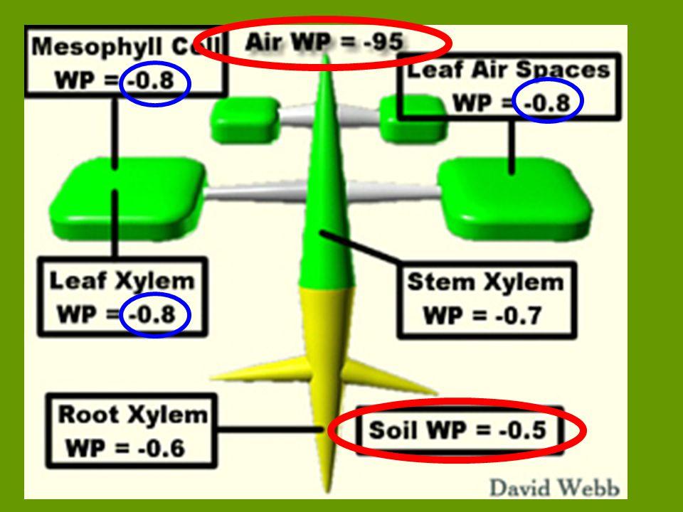 Počet, rozmístění, velikost i tvar průduchů jsou u jednotlivých druhu rostlin specifické a prizpůsobené půdní a vzdušné vlhkosti.