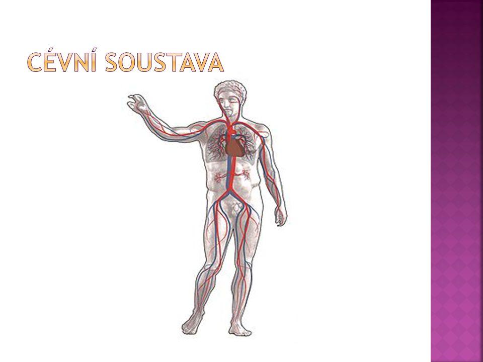  Srdce-dutý svalový nepárový orgán zajišťující nepřetržitou cirkulaci krve v krevním řečišti.Je umístěno v hrudní dutině mezi pravou a levou plicí za hrudní kostí ve vazivovém pouzdře(osrdečník).Skládá se z endokardu(vnitřní výstelkové vazivo),epikardu (vnější vazivo na povrchu,přechází i k začátkům cév) a myokardu(srdeční svalovina s vlastnostmi hladké i příčně pruhované svaloviny).