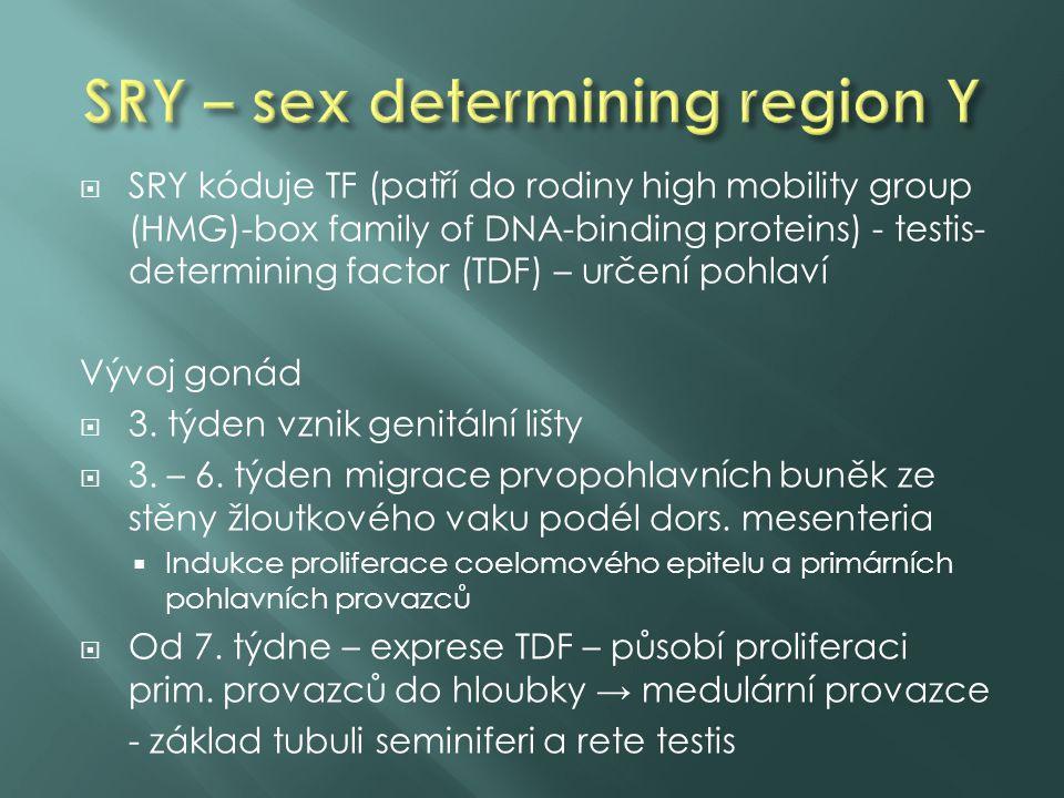  SRY kóduje TF (patří do rodiny high mobility group (HMG)-box family of DNA-binding proteins) - testis- determining factor (TDF) – určení pohlaví Vývoj gonád  3.