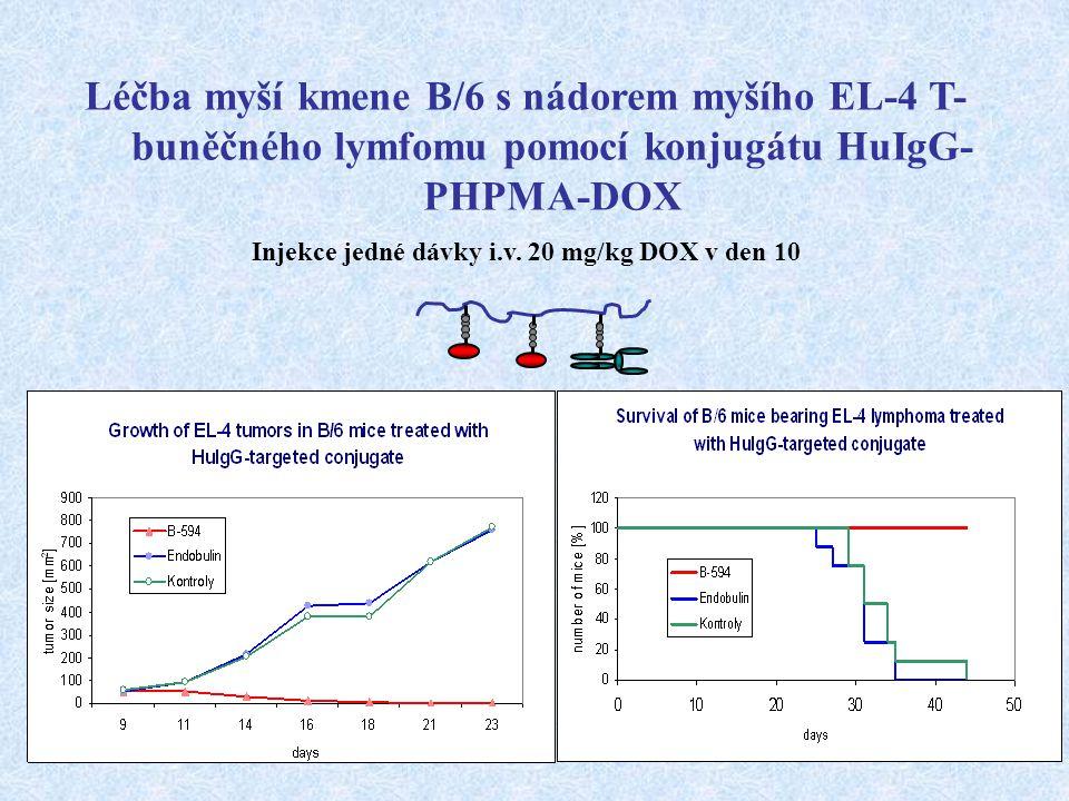 Léčba myší kmene B/6 s nádorem myšího EL-4 T- buněčného lymfomu pomocí konjugátu HuIgG- PHPMA-DOX Injekce jedné dávky i.v. 20 mg/kg DOX v den 10