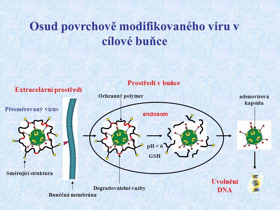 pH < 6 GSH Buněčná membrána Směrující struktura endosom Extracelární prostředí Ochranný polymer adenovirová kapsida Degradovatelné vazby Prostředí v b