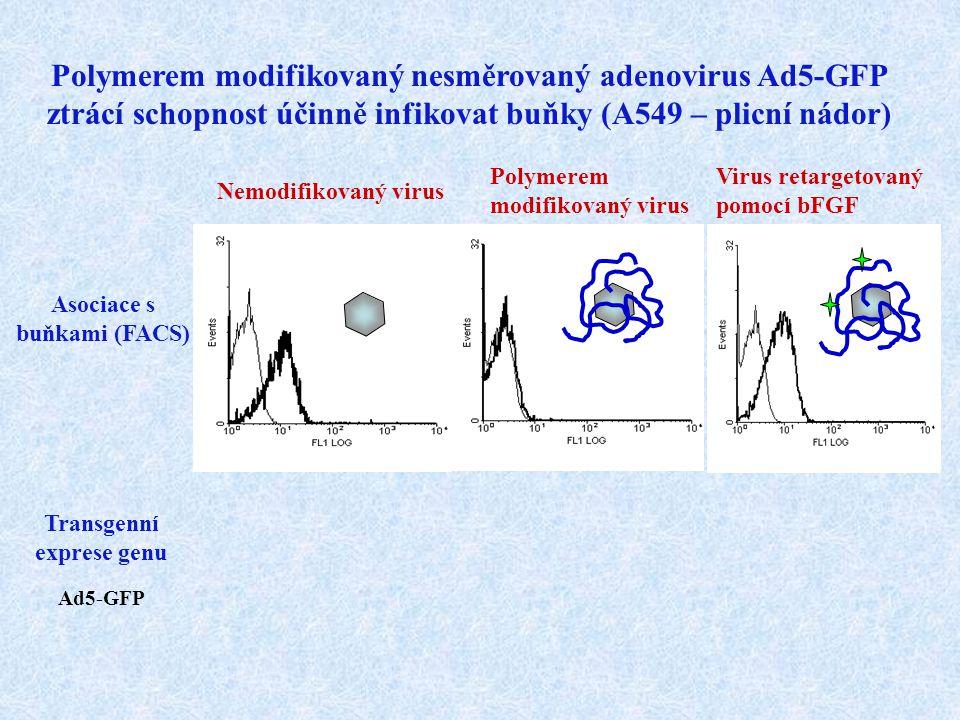 Nemodifikovaný virus Polymerem modifikovaný nesměrovaný adenovirus Ad5-GFP ztrácí schopnost účinně infikovat buňky (A549 – plicní nádor) Transgenní ex