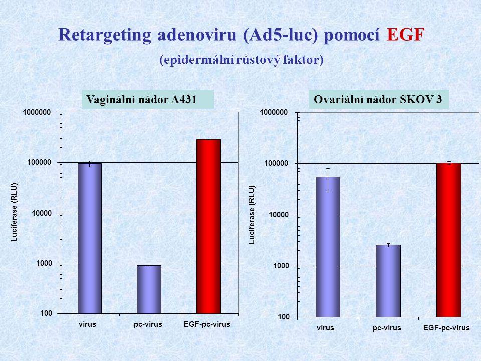 Retargeting adenoviru (Ad5-luc) pomocí EGF (epidermální růstový faktor) Vaginální nádor A431Ovariální nádor SKOV 3 100 1000 10000 100000 1000000 virus