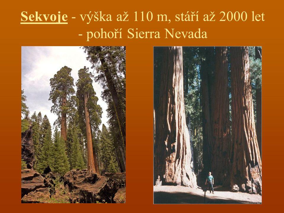 Sekvoje - výška až 110 m, stáří až 2000 let - pohoří Sierra Nevada