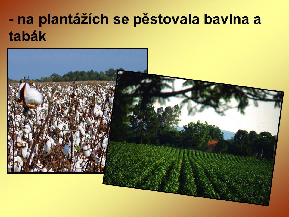 - na plantážích se pěstovala bavlna a tabák