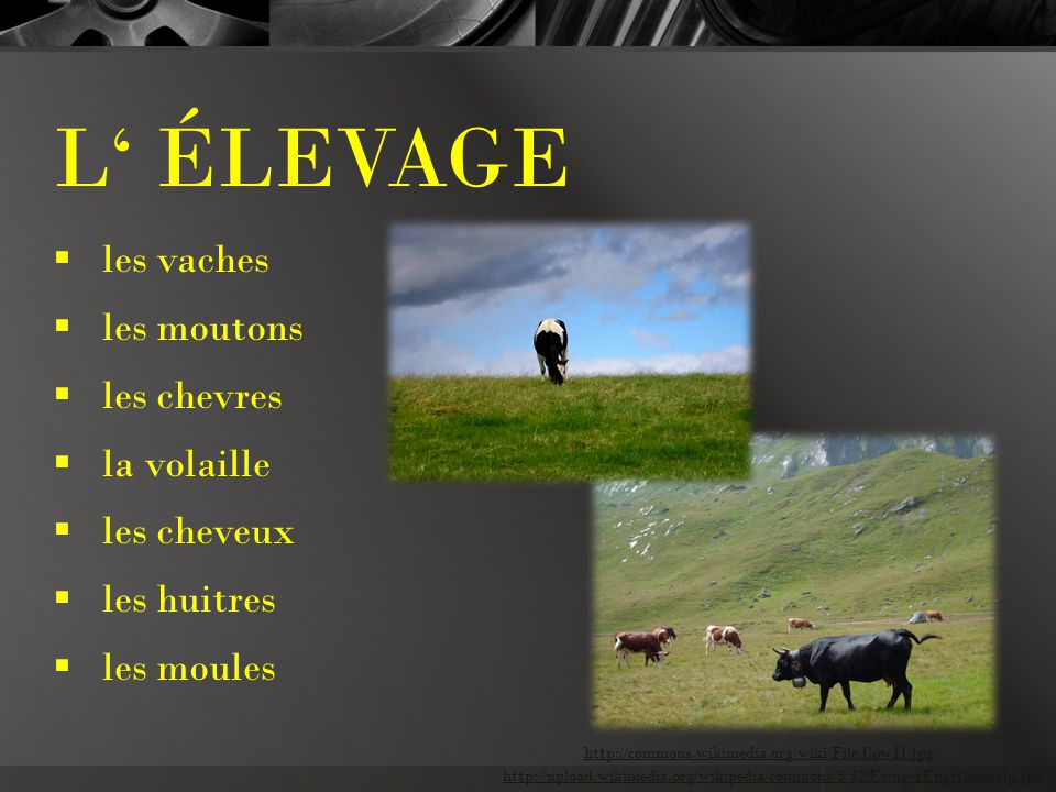 L' ÉLEVAGE  les vaches  les moutons  les chevres  la volaille  les cheveux  les huitres  les moules http://upload.wikimedia.org/wikipedia/commons/3/32/EringerEngstligenalp.jpg http://commons.wikimedia.org/wiki/File:Cow11.jpg