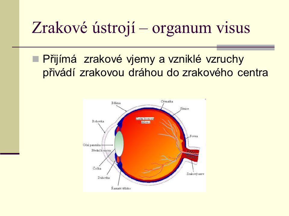 Zrakové ústrojí – organum visus Přijímá zrakové vjemy a vzniklé vzruchy přivádí zrakovou dráhou do zrakového centra