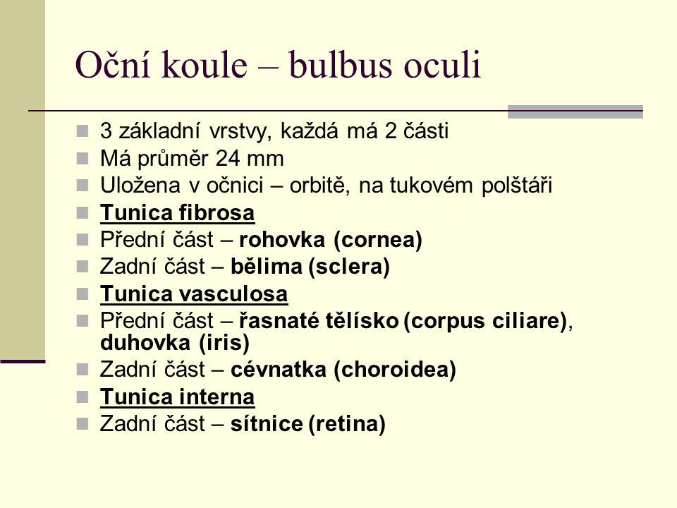 Oční koule – bulbus oculi 3 základní vrstvy, každá má 2 části Má průměr 24 mm Uložena v očnici – orbitě, na tukovém polštáři Tunica fibrosa Přední část – rohovka (cornea) Zadní část – bělima (sclera) Tunica vasculosa Přední část – řasnaté tělísko (corpus ciliare), duhovka (iris) Zadní část – cévnatka (choroidea) Tunica interna Zadní část – sítnice (retina)