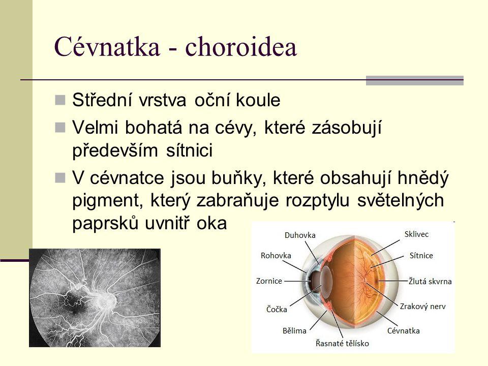 Cévnatka - choroidea Střední vrstva oční koule Velmi bohatá na cévy, které zásobují především sítnici V cévnatce jsou buňky, které obsahují hnědý pigment, který zabraňuje rozptylu světelných paprsků uvnitř oka