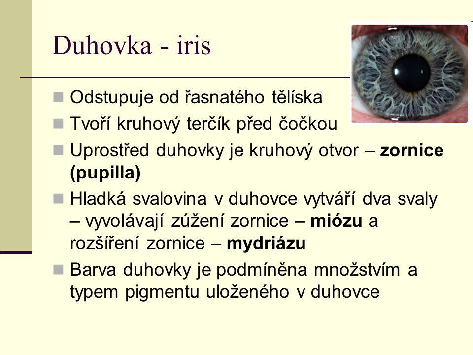 Duhovka - iris Odstupuje od řasnatého tělíska Tvoří kruhový terčík před čočkou Uprostřed duhovky je kruhový otvor – zornice (pupilla) Hladká svalovina v duhovce vytváří dva svaly – vyvolávají zúžení zornice – miózu a rozšíření zornice – mydriázu Barva duhovky je podmíněna množstvím a typem pigmentu uloženého v duhovce