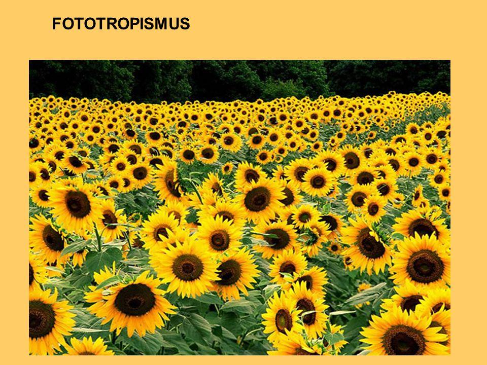 FOTOTROPISMUS