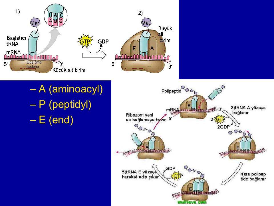 translace velká podjednotka ribozomu –tři vazebná místa –A (aminoacyl) –P (peptidyl) –E (end)