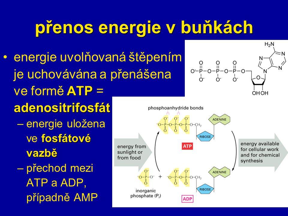 přenos energie v buňkách energie uvolňovaná štěpením je uchovávána a přenášena ATP ve formě ATP =adenositrifosfát –energie uložena fosfátové ve fosfátovévazbě –přechod mezi ATP a ADP, případně AMP