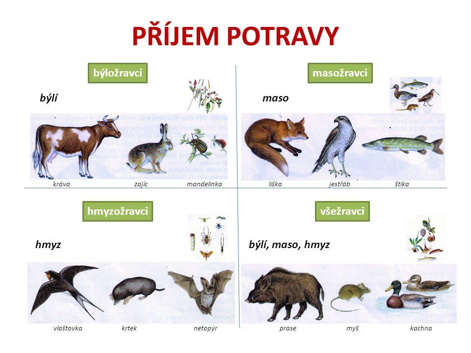 PŘÍJEM POTRAVY býložravci všežravcihmyzožravci masožravci býlímaso hmyzbýlí, maso, hmyz kráva zajíc mandelinkališka jestřáb štika vlaštovka krtek netopýr prase myš kachna