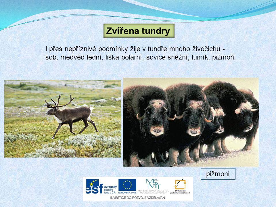 I přes nepříznivé podmínky žije v tundře mnoho živočichů - sob, medvěd lední, liška polární, sovice sněžní, lumík, pižmoň. Zvířena tundry pižmoni