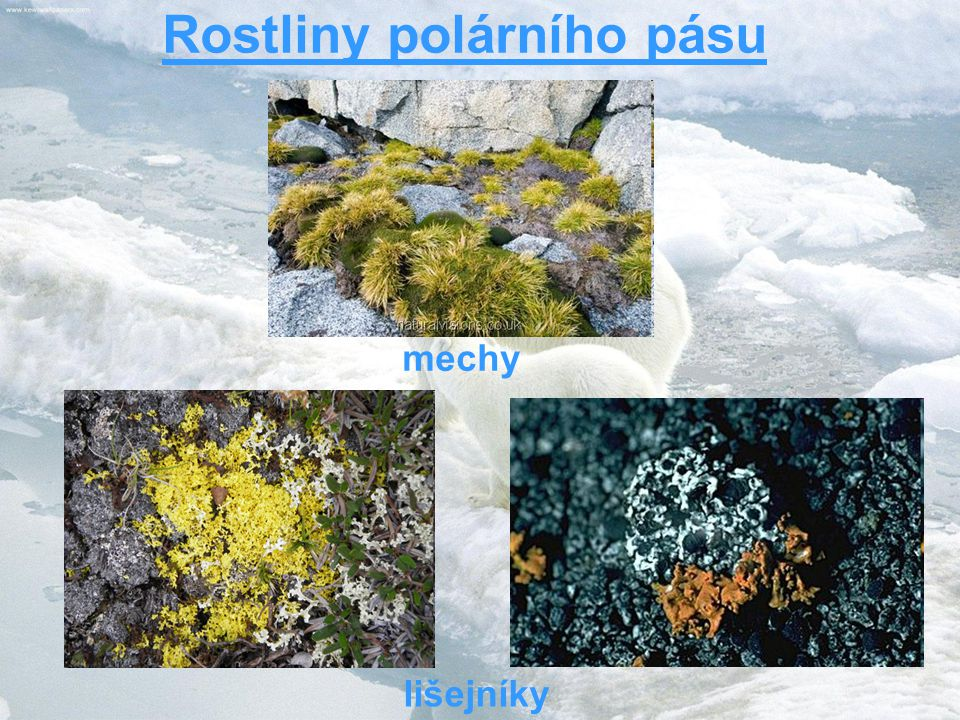 Rostliny polárního pásu mechy lišejníky