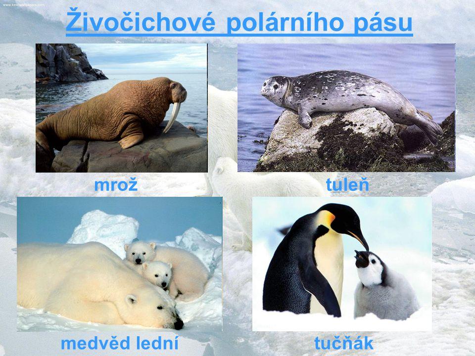 Živočichové polárního pásu medvěd lední tuleňmrož tučňák