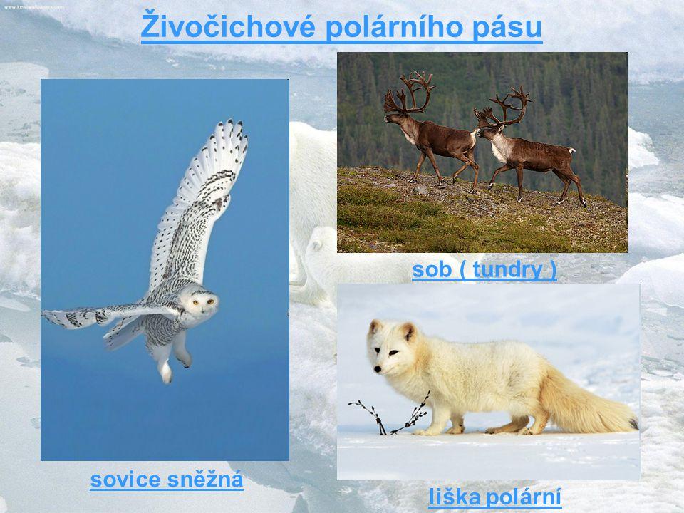 sob ( tundry ) liška polární sovice sněžná Živočichové polárního pásu
