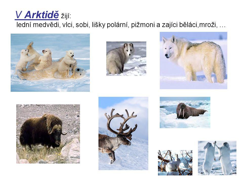 V Arktidě žijí: lední medvědi, vlci, sobi, lišky polární, pižmoni a zajíci běláci,mroži, …