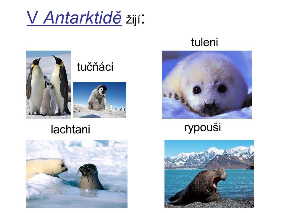 V Antarktidě žijí : tučňáci lachtani tuleni rypouši