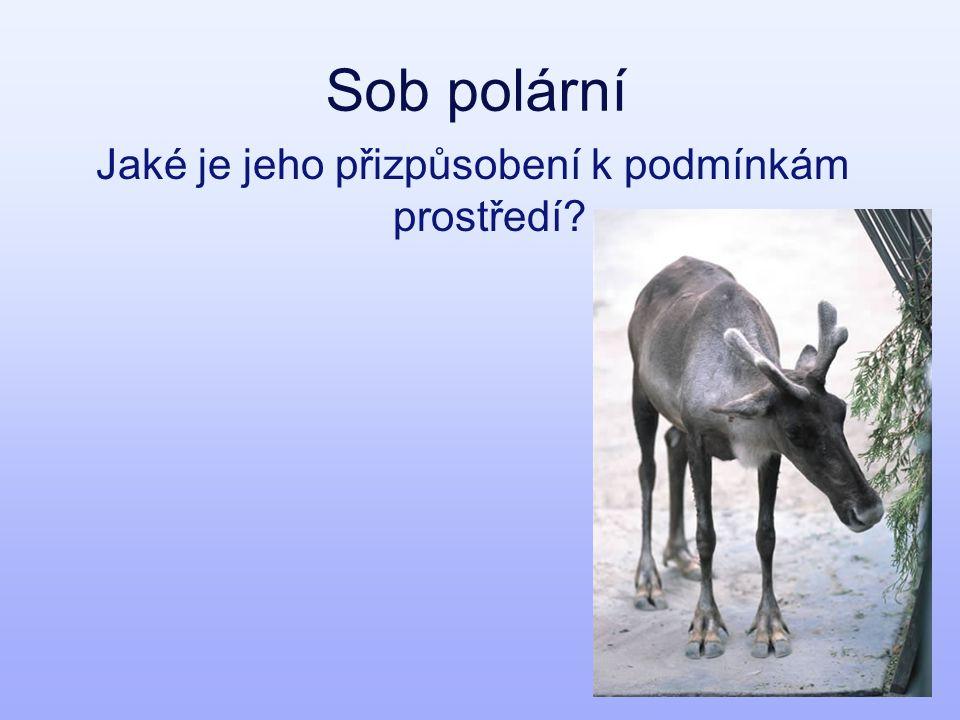 Sob polární Jaké je jeho přizpůsobení k podmínkám prostředí?