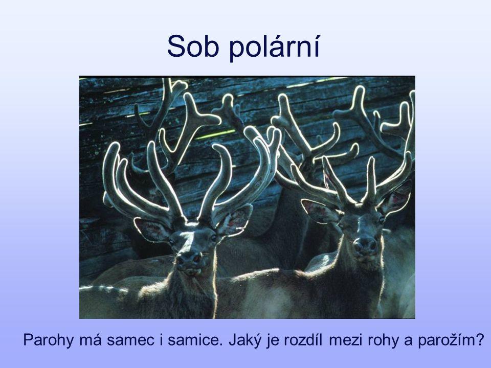 Sob polární Parohy má samec i samice. Jaký je rozdíl mezi rohy a parožím?