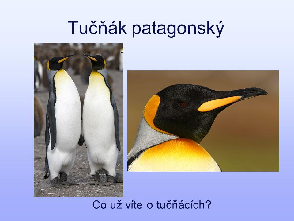 Tučňák patagonský Co už víte o tučňácích?