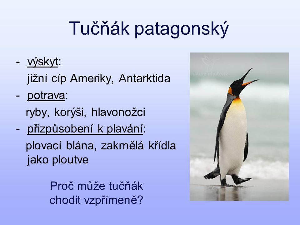 Tučňák patagonský -výskyt: jižní cíp Ameriky, Antarktida -potrava: ryby, korýši, hlavonožci -přizpůsobení k plavání: plovací blána, zakrnělá křídla jako ploutve Proč může tučňák chodit vzpřímeně?