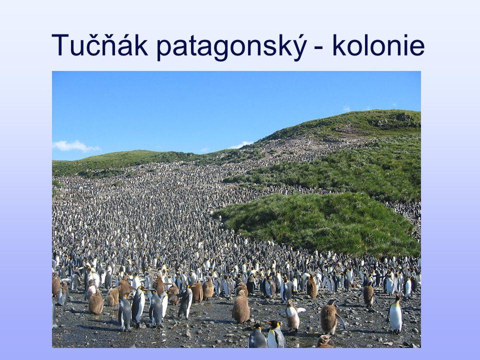 Tučňák patagonský - kolonie