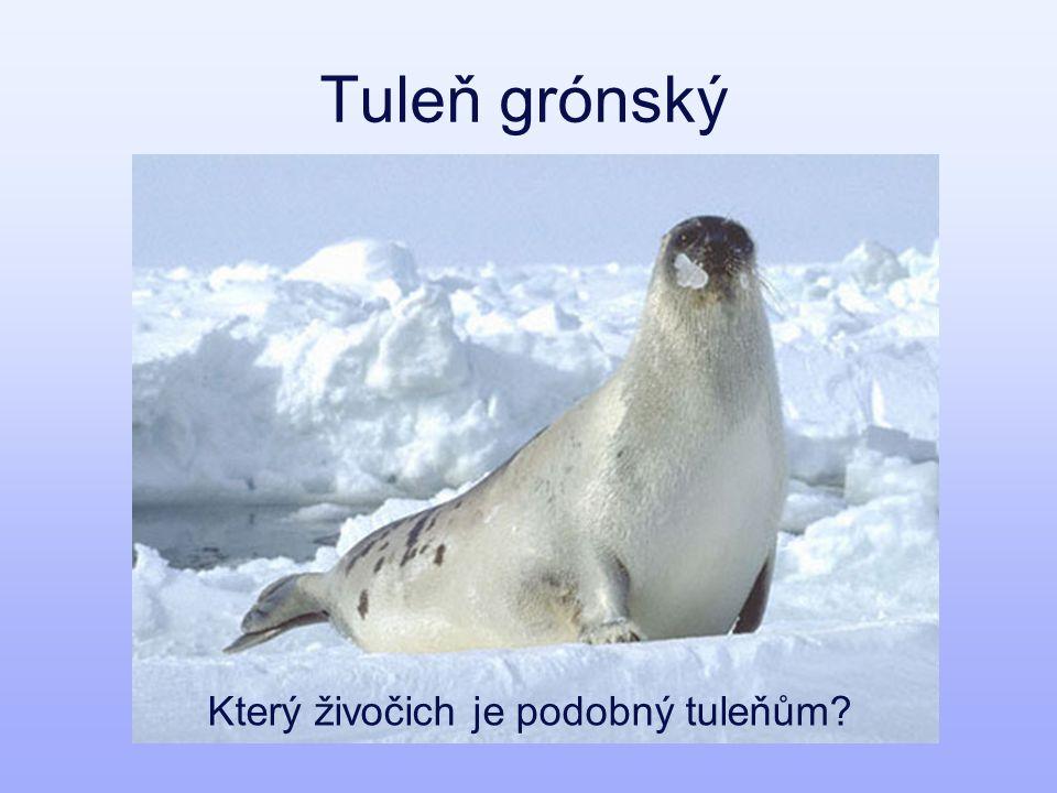 Tuleň grónský Který živočich je podobný tuleňům?