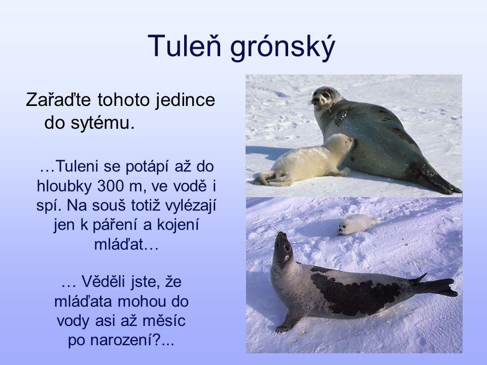 Tuleň grónský Zařaďte tohoto jedince do sytému.