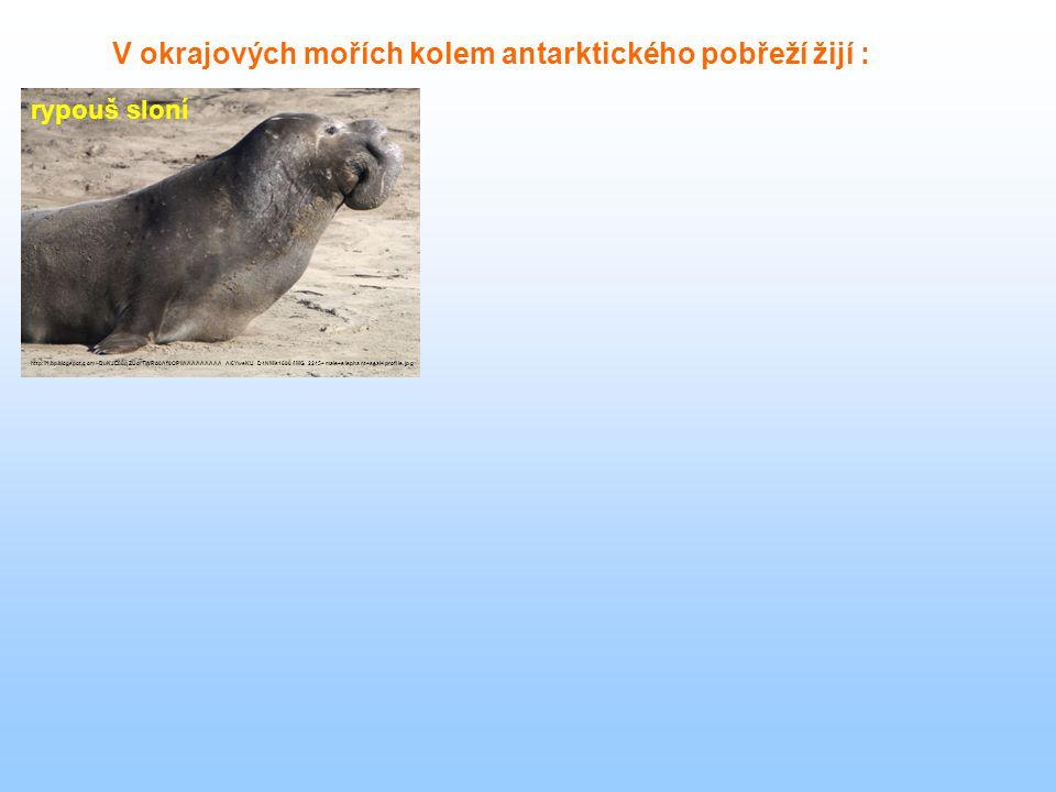 rypouš sloní V okrajových mořích kolem antarktického pobřeží žijí : http://1.bp.blogspot.com/-BuKJE88qZUo/TWRo0Af0OPI/AAAAAAAAA_A/6YweKU_D4NM/s1600/IM