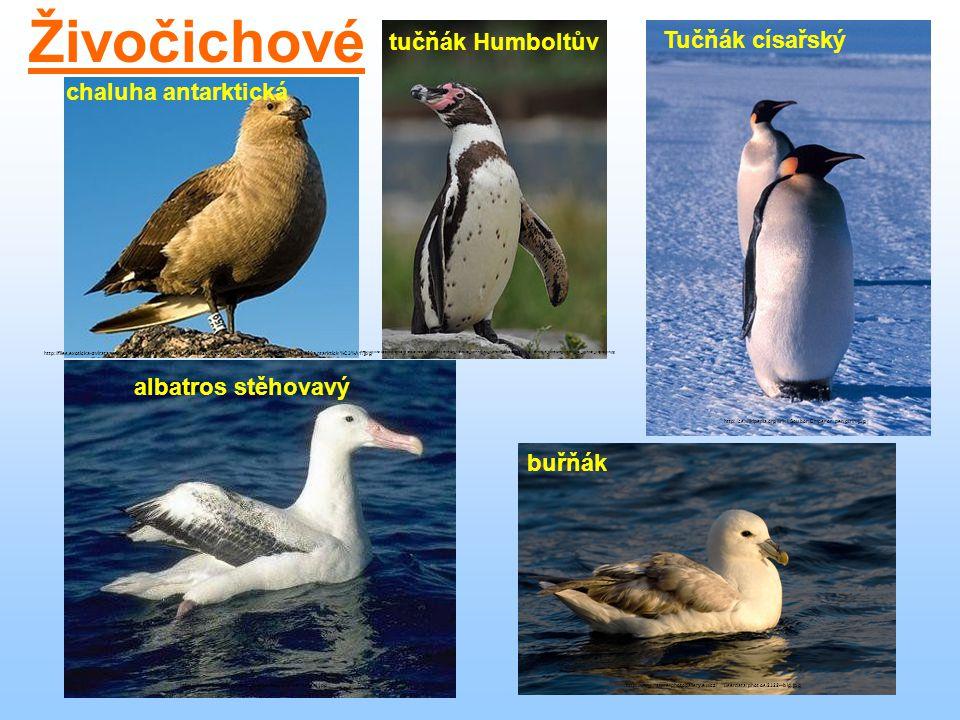Tučňák císařský http://cs.wikipedia.org/wiki/Soubor:Emperor_penguin.jpg Živočichové albatros stěhovavý http://www.profesorenlinea.cl/imagenfauna/albat
