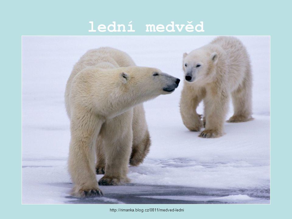 lední medvěd http://rimanka.blog.cz/0811/medved-ledni