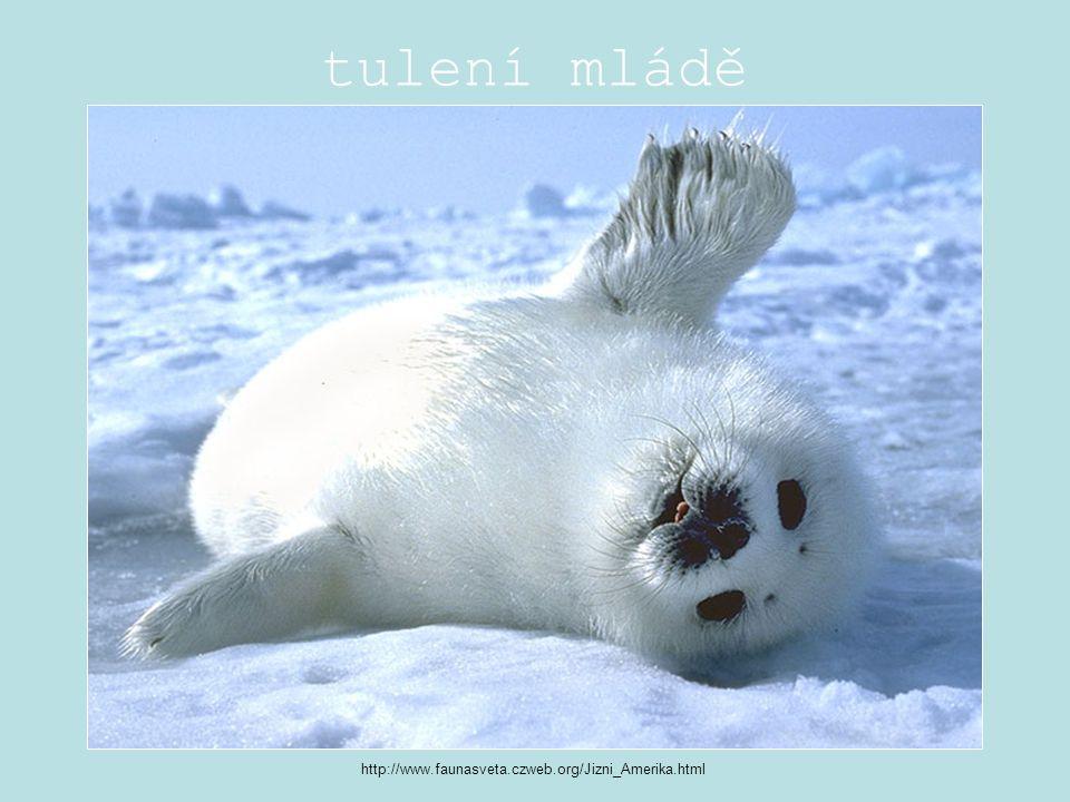 tulení mládě http://www.faunasveta.czweb.org/Jizni_Amerika.html