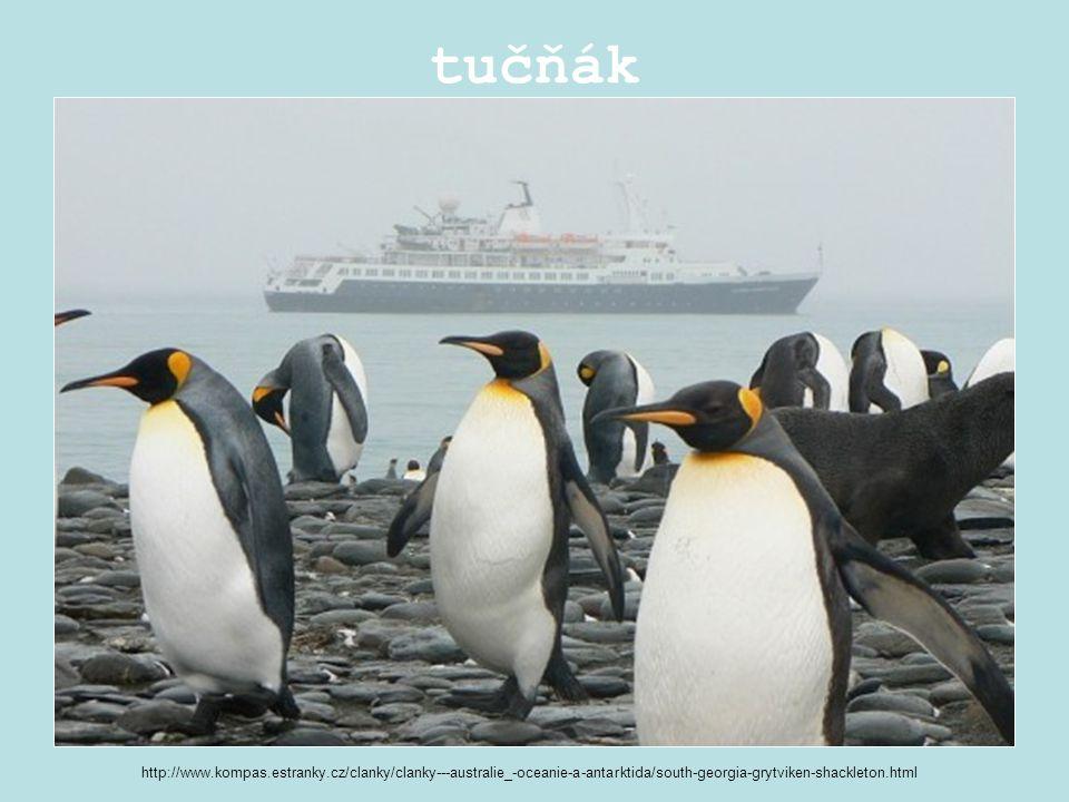 tučňák http://www.kompas.estranky.cz/clanky/clanky---australie_-oceanie-a-antarktida/south-georgia-grytviken-shackleton.html