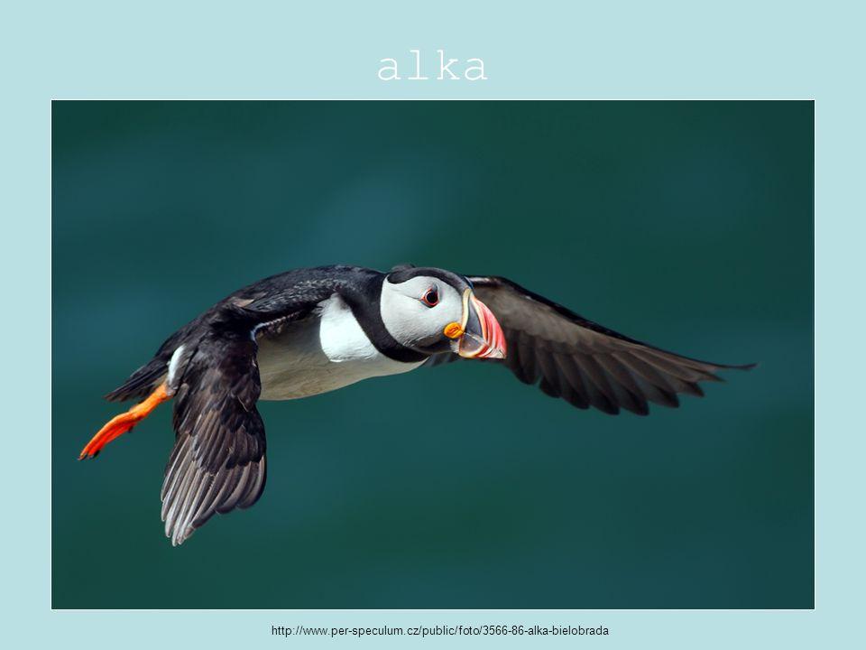 alka http://www.per-speculum.cz/public/foto/3566-86-alka-bielobrada