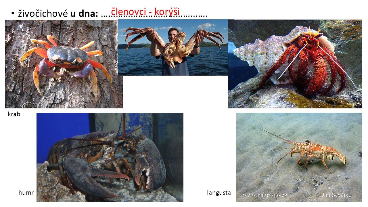 živočichové u dna: ……………………………………. krab humrlangusta členovci - korýši