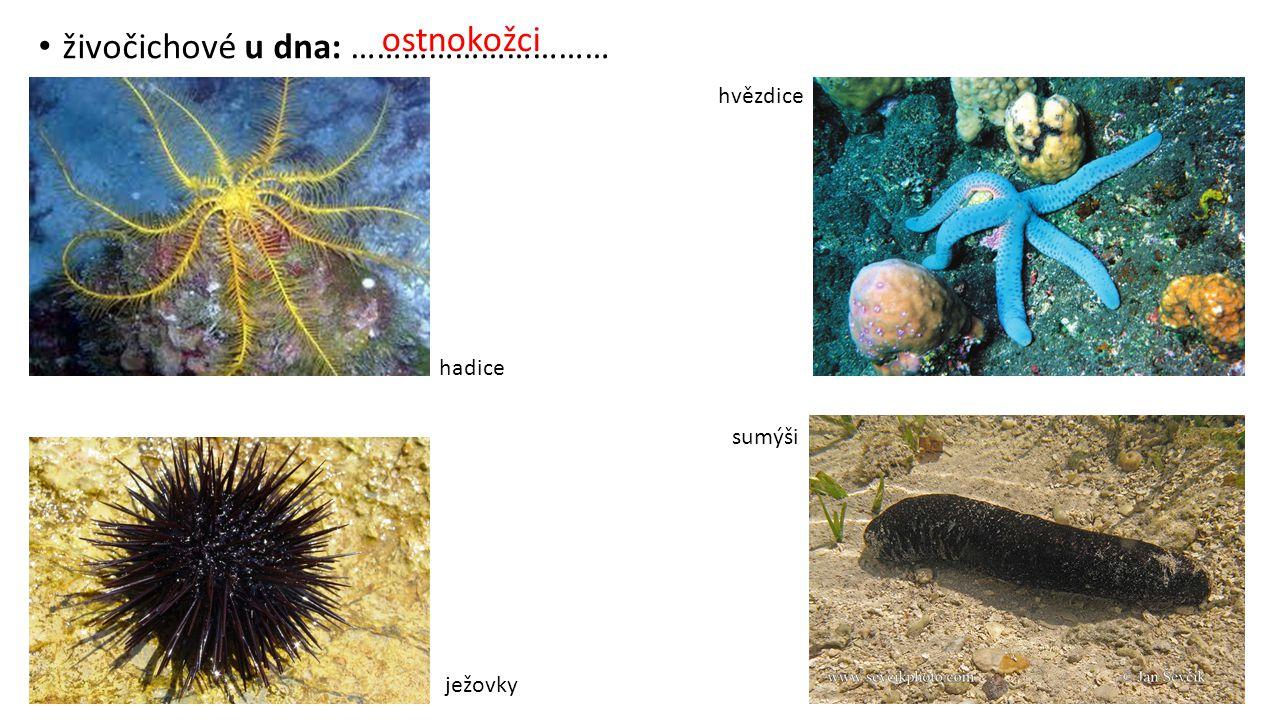 živočichové u dna: ………………………… hadice hvězdice ježovky sumýši ostnokožci