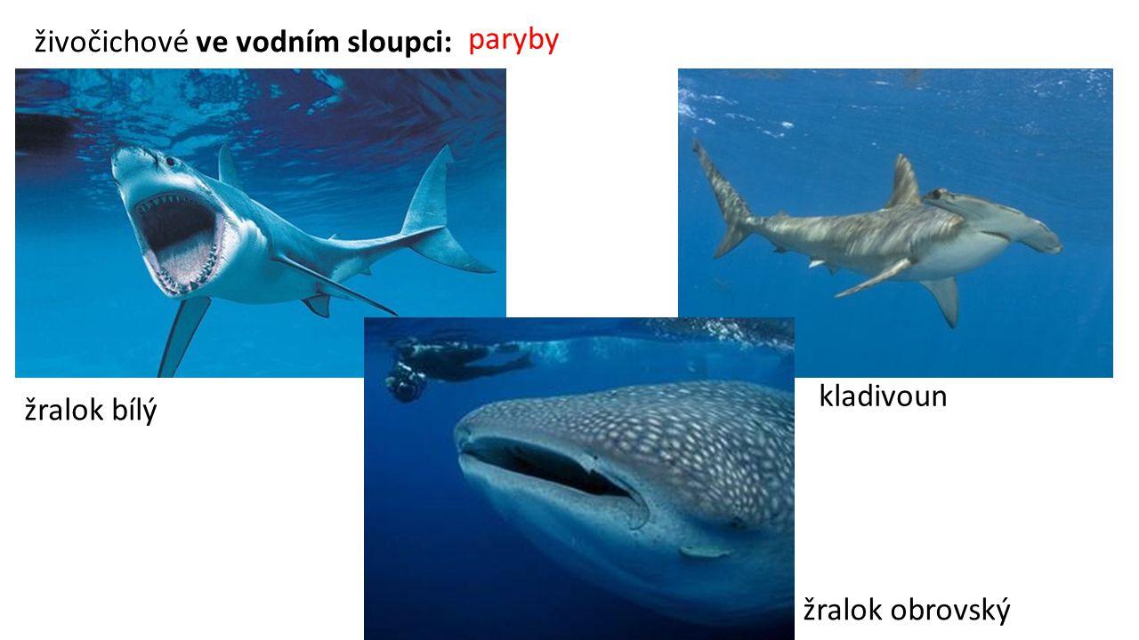 živočichové ve vodním sloupci: paryby žralok bílý žralok obrovský kladivoun