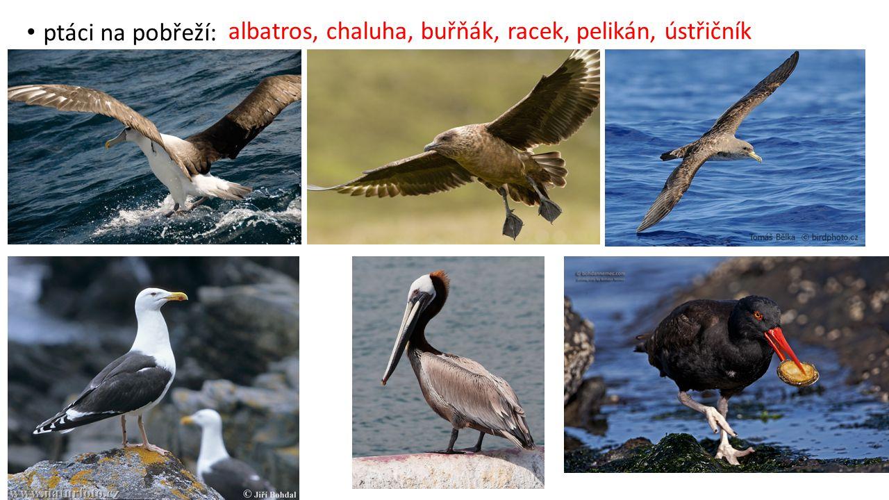 ptáci na pobřeží: albatros, chaluha, buřňák, racek, pelikán, ústřičník