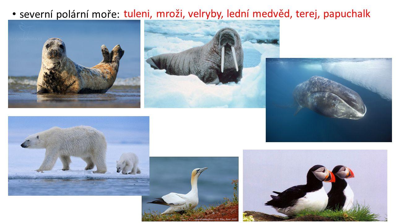 severní polární moře: tuleni, mroži, velryby, lední medvěd, terej, papuchalk